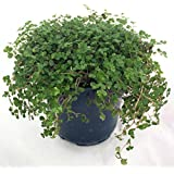 "Hirt's Baby Tears Plant - 4"" Pot - Helxine - Great Indoor Plant"