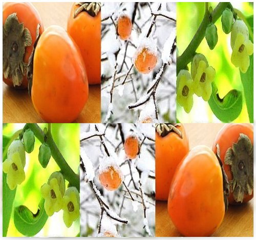 Persimmon Fruit Treediospyros Virginiana Tree Seeds - Cold Hardy Zone 6 - Exquisite Taste - High In Vitamin C (010 Seeds - Pkt.)