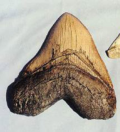Megalodon Shark Tooth Replica