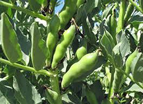 bean-fava-windsor-bush-heirloom-organic-20-seeds-non-gmo-buttery-n-healty-beans-by-country-creek-acr