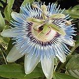 PASSION FLOWER BLUE Passiflora Caerulea --- 5 Flower Seeds
