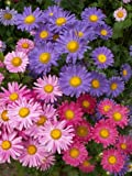 *Seeds and Things 500 Aster China Flower Seeds Mixed Colors Superb Semi-double Mixture with a Full Range of Colors