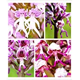 Flower Pots Planters 50 Seed Monkey Face Orchids Seeds Man Orchid Multiple Varieties Bonsai Plants Seeds For Home...