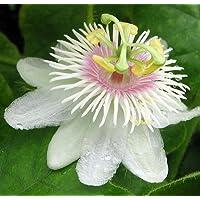 Love In A Mist Passion Vine Plant - Passiflora -Wild Maracuja/Marya-Marya-4