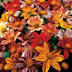 Dahlia Fireworks - Park Seed Dahlia - Buy Dahlia Fireworks - Park Seed Dahlia - Purchase Dahlia Fireworks - Park Seed Dahlia (Park Seed, Home & Garden,Categories,Patio Lawn & Garden,Plants & Planting,Outdoor Plants,by Moisture Needs,Regular Watering)
