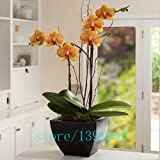 100pcs Orchid,orchid Seeds,phalaenopsis Orchid,bonsai Hydroponic Flower Seeds For Four Seasons,potted Plants For...