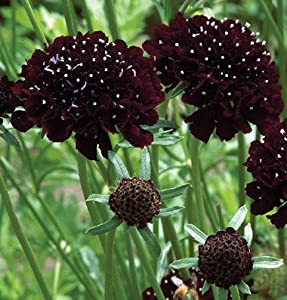 Flower Scabiosa Black Knight D1724 (Black) 100 Seeds by David's Garden Seeds