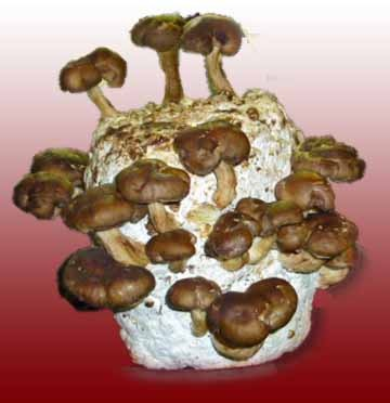 shiitake mushroom growing kit instructions