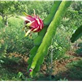 Red Dragon Fruit Live Plant Easy Growing Juicy Sweet