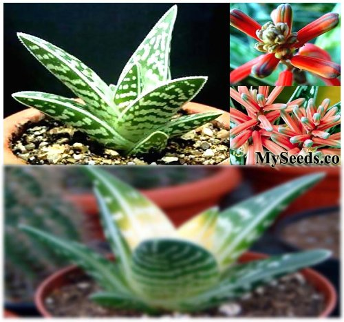 5 Packs X 20 Aloe Variegata, Tiger Aloe, Partridge-Breasted Aloe Plant Seeds - Great For Greenhouse & Indoor - Indigenous To South Africa And Namibia - By Myseeds.Co