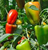 Pepper Bell California Wonder Non GMO Heirloom Vegetable 25 Seeds by Sow No GMO