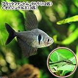 (熱帯魚)ブラックファントム・テトラ(12匹)+オトシンクルス(3匹) 本州・四国限定[生体]
