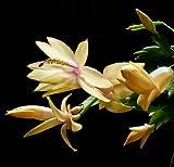 Hirt's Yellow Christmas Cactus Plant - Zygocactus