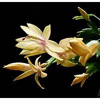 Rare Yellow Christmas Cactus Plant - Zygocactus - 2.5