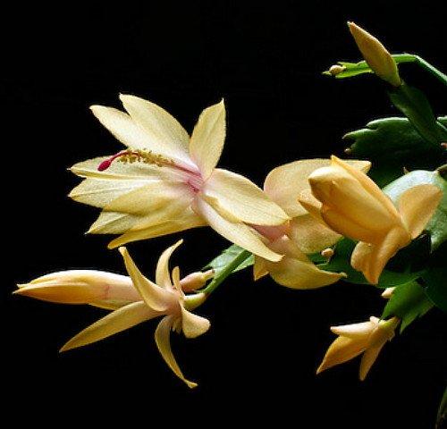Yellow Christmas Cactus Plant