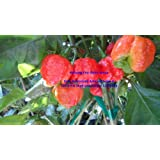 Trinidad Moruga Scorpion 6 Dried Peppers