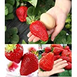 300pcs Giant Strawberry Seeds, Sweet Red Strawberry/Organic Garden Strawberry Fruit Seeds, for Home Garden Planting (Color: red, Tamaño: as picture show)