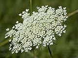 5000 Queen Anne's Lace - Ammi Majus - Bishop's Weed - Florist's Favorite!