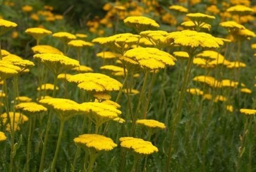 Pack X6 Achillea Filipendulina 'Cloth Of Gold' Perennial Plug Plants