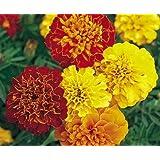 Red and Yellow Dwarf Marigolds - My Secret Gardens