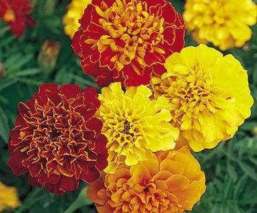 Red and Yellow Dwarf Marigolds - My Secret Gardens Review | Shopswell