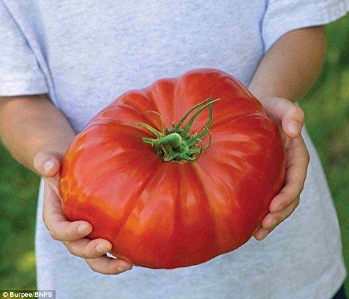 tomato-gigantomo-f1-10-finest-seeds-worlds-largest-beefsteak