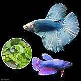 (熱帯魚)ベタ・スーパーデルタテール 色指定なし(おまかせ浮き草3種セット付き)(1ペア) 本州・四国限定[生体]