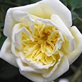 Rosa 'Alberic Barbier' (Rose) 4.5l or 6l rose pot