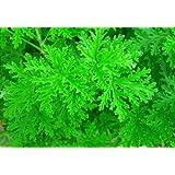"""Citronella Mosquito Plant - Pelargonium Van Leenii - West Nile Virus - 4"""" Pot"""