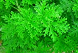 "Citronella Mosquito Plant - West Nile Virus - 4"" Pot"