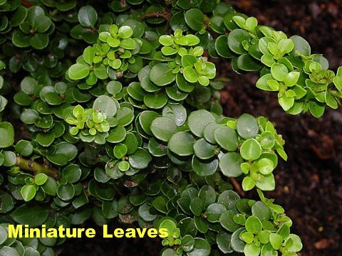 Buy Japanase Pagoda Holly True Bonsai – Ilex crenata -SALE*