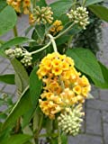 Yellow Flowered Butterfly Bush Buddleia Sungold 40 - 60 Cm In 3 Liters Plant Container