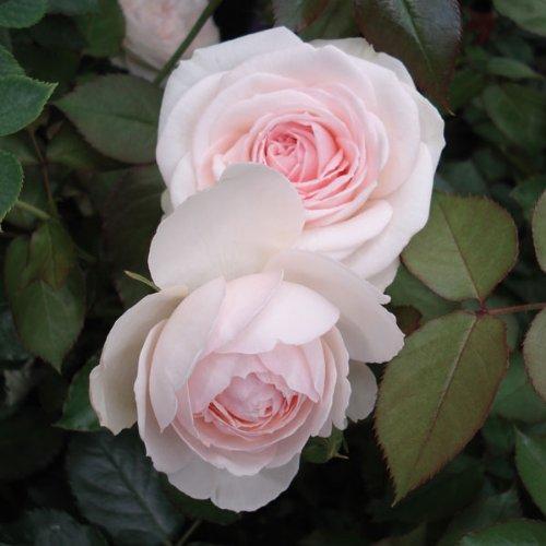 つるバラ:ブラン・ピエール・ド・ロンサール大苗[返り咲き アンティークタッチのバラ]
