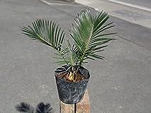 【1年間枯れ保証】【葉や形を楽しむ木】ソテツ 10.5cmポット