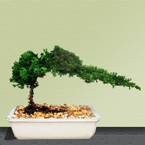 Bonsai Boy's Juniper Bonsai Tree
