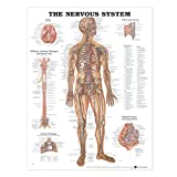 The-Nervous-System-Anatomical-Chart