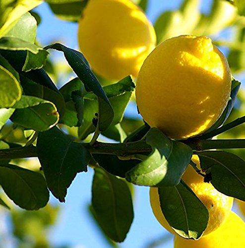 citrus-lemon-tree-17cm-pot-size