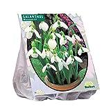40 Stück Schneeglöckchen Galanthus Woronowii Blumenzwiebeln