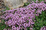 Premier Seeds Direct DI-OGS8-4INB 0.5g Thyme Purple Creeping Seeds Thymus Serpyllum (Pack of 3500)