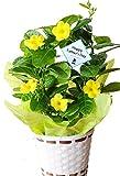 父の日ギフトフラワーマーケット花由 マンデビラサマーブーケ鉢植え