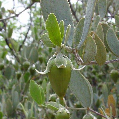 Jojoba Simmondsia Chinensis Bulk 1000 Seeds