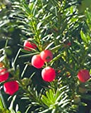 Trees By Post English Yew Hedging Trees (Taxus baccata) x 4