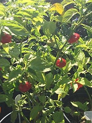 Cachucha Puerto Rican Sweet Pepper 100 seeds Ajicito Aji Gustoso Aji Dulce