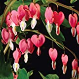 10 BLEEDING HEART - PINK OLD FASHIONED Dicentra Spectibilis Flower Seeds *CombSH