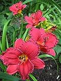 10 Bareroot Hemerocallis Cranberry Baby Daylily 1-2 Fans