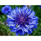 Cornflower - Centaurea Cyanus - Wildflower 150 Seeds
