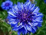 Cornflower - Centaurea Cyanus - Wildf...