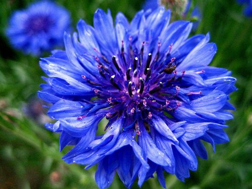 CORNFLOWER – CENTAUREA CYANUS – Wildflower 150 Seeds