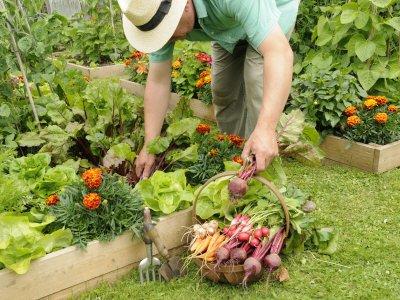 Gardener Harvesting Summer Vegetables from Raised Bed Vegetable Plots