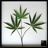 リーフパネル F-style Frame Cannabis sativa(カンナビス・サティバ/大麻草)絵画 インテリア 壁掛け アート ポスター フック 海 ピカソ 額縁